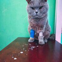 FIP – těžko diagnostikovatelná kočičí nemoc